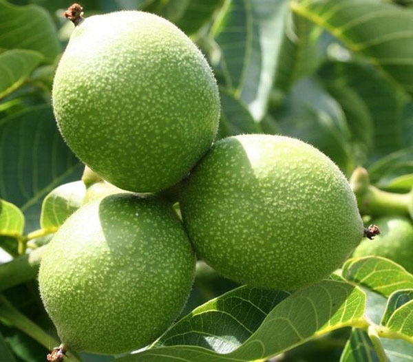 Features of cultivation of walnut varieties Ideal