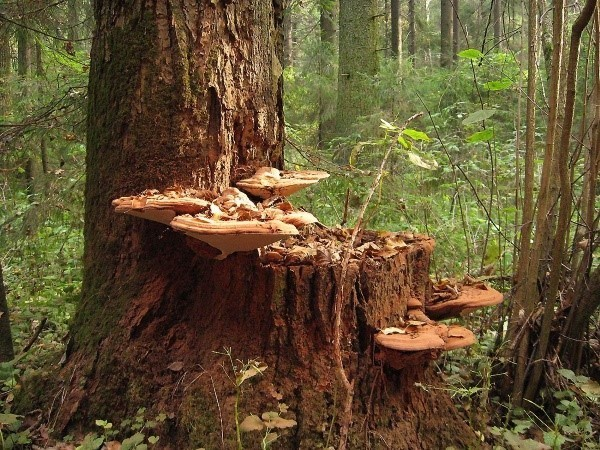 These mysterious xylotrophs - we get acquainted with wood mushrooms