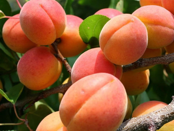 Choosing an apricot for the Moscow region - the best varieties of local selection