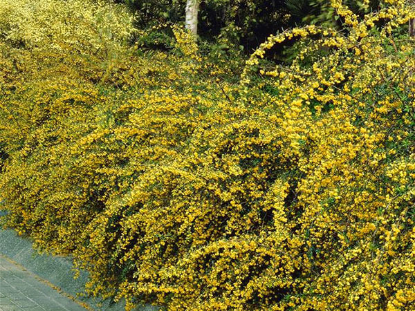 Creepers and shrubs for lively, fast-growing, perennial and evergreen hedge